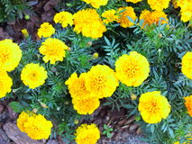 Yellow flowers in the garden. Marigold tagetes Stock Photos