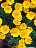 Yellow flowers in the garden. Marigold tagetes Stock Image