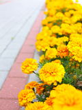 Yellow flowers in the garden. Marigold tagetes Royalty Free Stock Photos