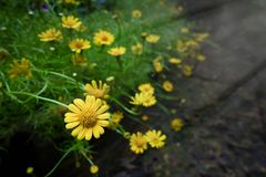 Yellow flowers in the garden. In thailand Royalty Free Stock Image