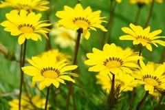 Yellow flowers of Gazania Stock Photo