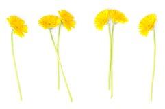 Yellow flowers of gerbera Stock Images