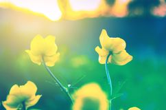 Yellow flowers of globeflowerTrollius europaeus on a blurred background of setting sun. royalty free stock photography