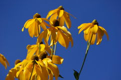 Yellow flowers. Glow bright in the summer sun Stock Image