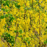 Yellow flowers, Golden shower flowers, square format Royalty Free Stock Photos