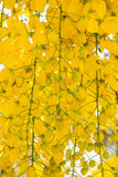 Yellow Flowers of Golden Shower Tree in summer. Stock Photography