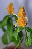 Yellow flowers of the Golden Shrimp plant Pachystachys Lutea - beautiful home plant in a pot Royalty Free Stock Images