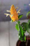 Yellow flowers of the Golden Shrimp plant Pachystachys Lutea - beautiful home plant in a pot Stock Photo