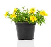 Yellow flowers Goldmarie Royalty Free Stock Image
