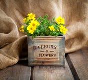 Yellow flowers Goldmarie or Bidens ferulifolia Royalty Free Stock Image