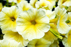 Yellow flowers gramophones Stock Photography
