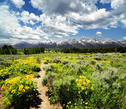 Yellow flowers with the grand teton Royalty Free Stock Photo