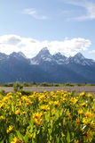 Yellow flowers at the Grand Teton National Park, US Stock Photography