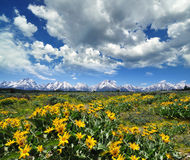 Yellow flowers with the grand tetons Stock Photo