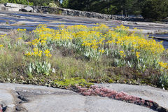 Yellow Flowers On Granite Outcrop 2 Royalty Free Stock Image