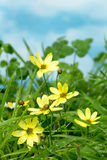 Yellow flowers in grass Stock Photos