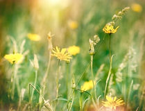 Yellow flowers in grass Royalty Free Stock Photos