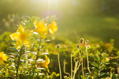 Yellow flowers and grass at sunsets Stock Photos