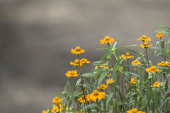 Yellow flowers on gray background.  Royalty Free Stock Images