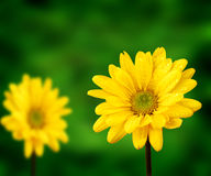 Yellow Flowers and Green Background Stock Image