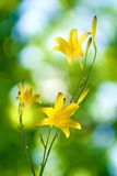 Yellow flowers on a green background closeup Royalty Free Stock Photos