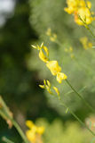 Yellow flowers. And green buds on long-necked , patchwork, facing the sun , comfortable beauty Stock Image