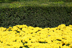 Yellow flowers and green bushe. Bright background. yellow flowers and green bushes Stock Photo