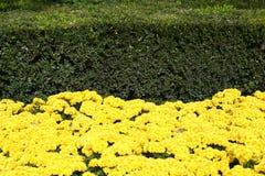 Yellow flowers and green bushe Stock Photo