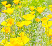 Yellow flowers on green field Stock Image