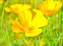 Yellow flowers on green field Royalty Free Stock Photography