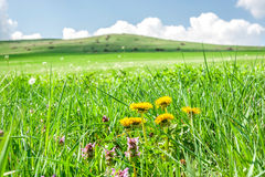 Yellow flowers in green field Royalty Free Stock Photo