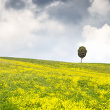 Yellow flowers green field, lonely cypress tree and cloudy sky Stock Photo