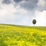 Yellow flowers green field, lonely cypress tree and cloudy sky. Yellow flowers and green field, lonely cypress tree and a cloudy sky on background. Spring season Stock Photo