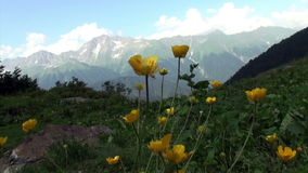 Yellow flowers in a green field sunny day background snow moutain stock video footage