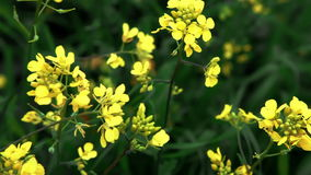 Yellow flowers in green field. Video of yellow flowers in green field stock footage