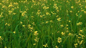 Yellow flowers in green field. Video of yellow flowers in green field stock video