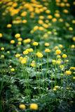 Yellow flowers in the green field, the wild Stock Images
