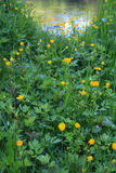 Yellow flowers on a green glade Stock Photo