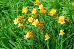 Yellow flowers in the green grass background Stock Images