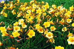 Yellow flowers in the green grass background Stock Photo