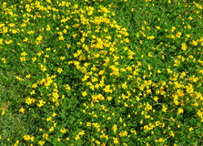 Yellow flowers on green grass Royalty Free Stock Photos