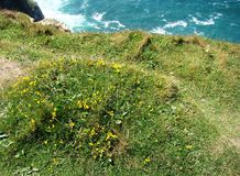 Yellow flowers,green grass and blue sea stock photography