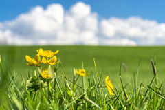Yellow flowers on green grass field with blue sky, clouds Royalty Free Stock Photo