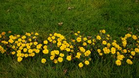 Yellow flowers on the green grass stock photos
