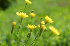 The yellow flowers on the green grass Stock Photo