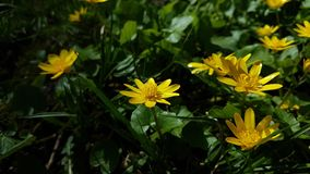 Yellow flowers. Yellow flowers in green grass in spring Royalty Free Stock Images