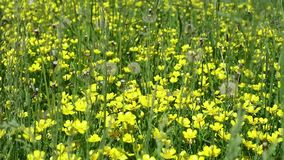 Yellow flowers in green grass. white butterflies above flowers.  stock footage