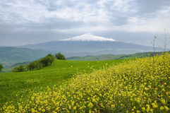 Yellow flowers, green grass and white mountain Royalty Free Stock Photo