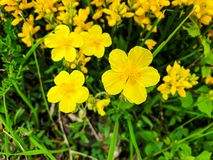 Yellow flowers in a green grass royalty free stock photo