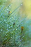 Yellow flowers between green herbs. With water drops Stock Photos